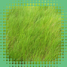 Brachiaria Humidicola cv. Llanero - Semente Revestida - CX 1Kg