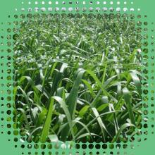 Sementes de Brachiaria Brizantha MG5 - Sementes Revestidas - CX 1KG