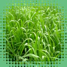 Brachiaria Decumbens - Sementes de capim - Sementes Revestidas - CX 1KG