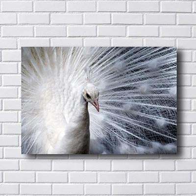 Quadro Decorativo de Pavão Branco